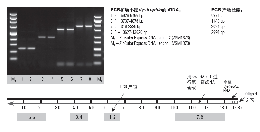 fermentas逆转录试剂盒RevertAid First Strand cDNA Synthes
