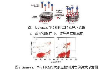 BD细胞凋亡双染试剂盒AnnexinV-FITC/PI